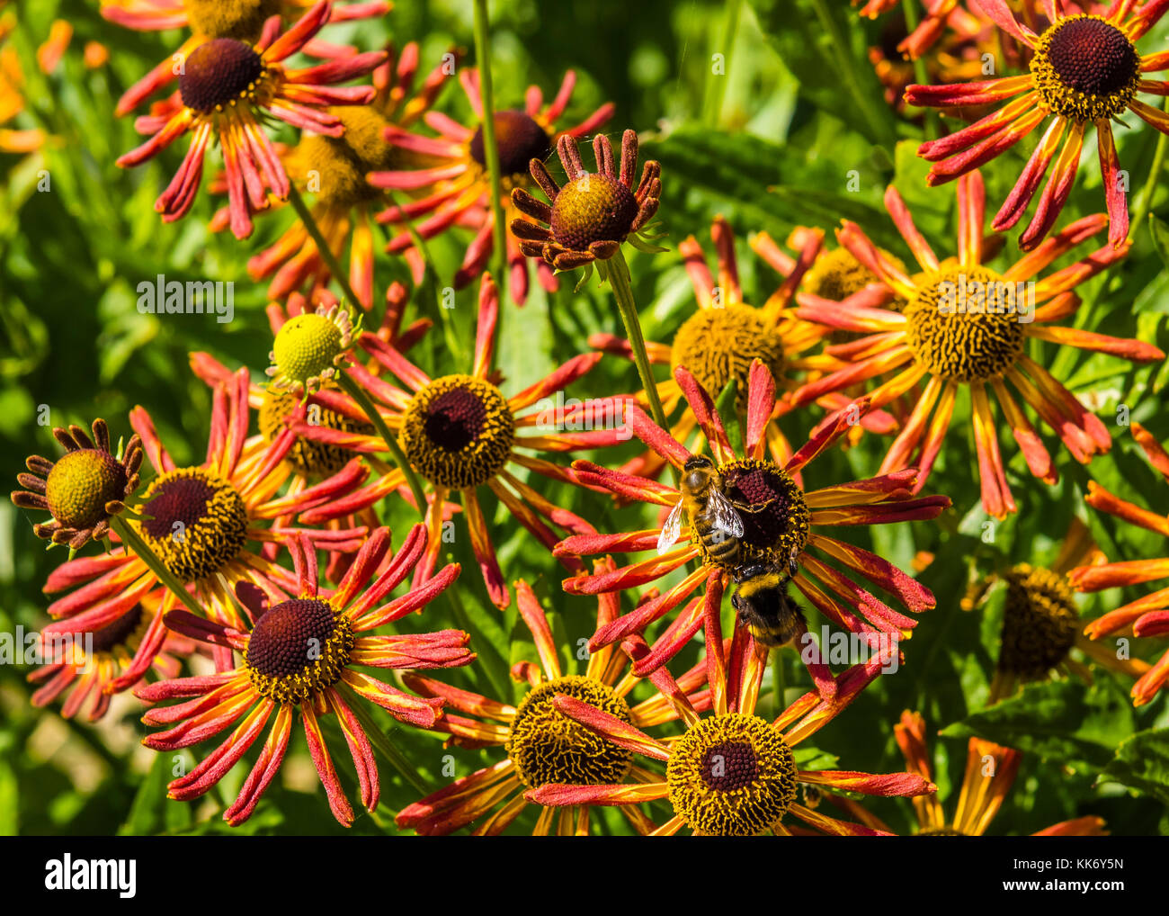Bee sat on orange flowers in a Buckinghamshire garden, UK - Stock Image