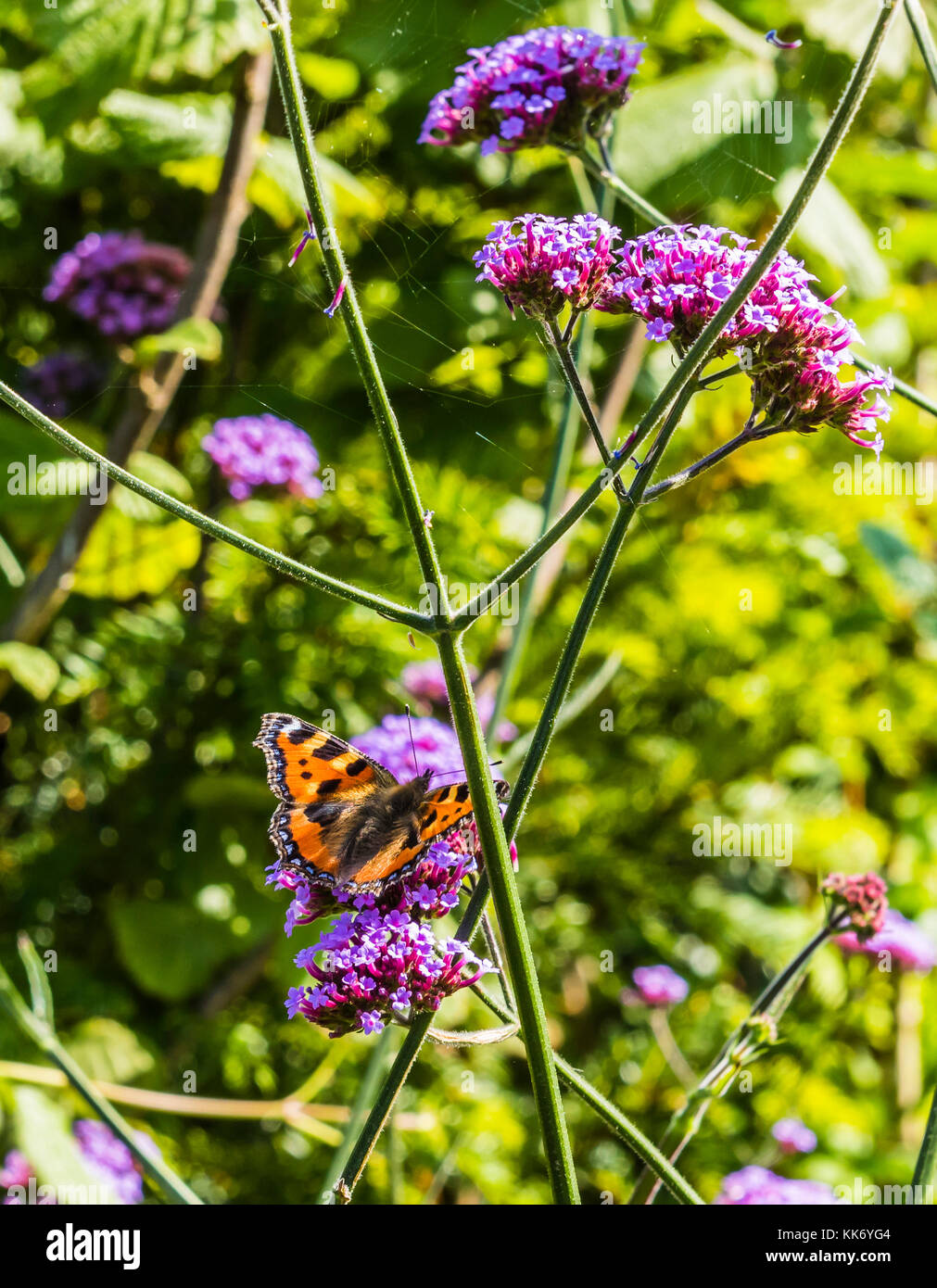 Small tortoiseshell butterfly in a Buckinghamshire garden, UK - Stock Image