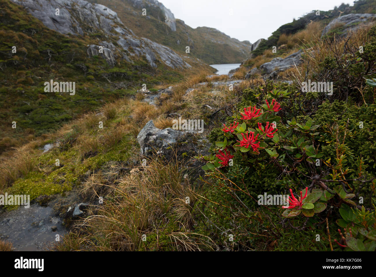 Flower bloom in a remote island in Southern Chile fjords - Stock Image