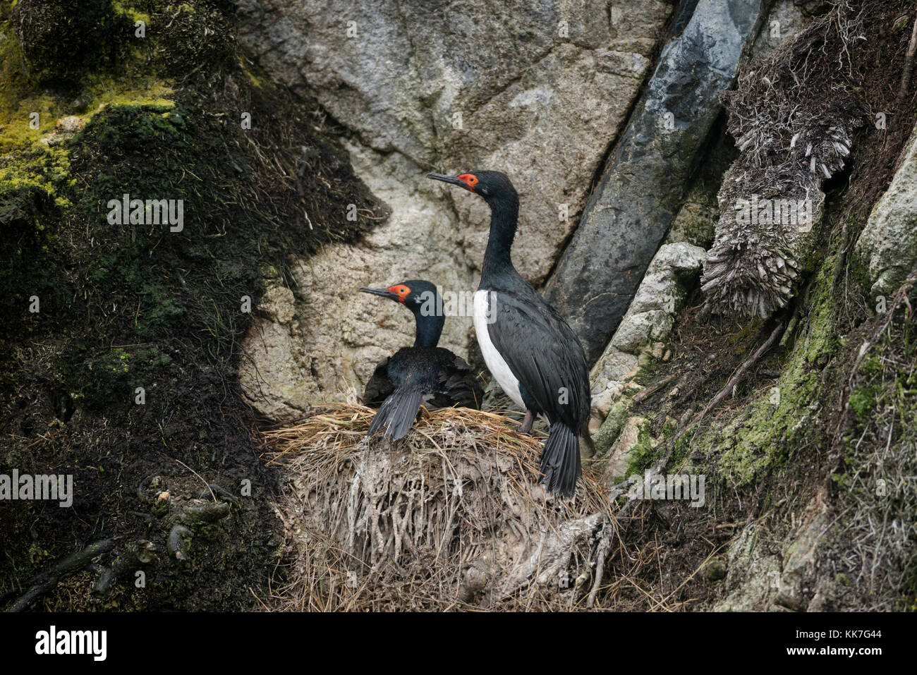 Rock Cormorants (Phalacrocorax magellanicus) nesting on a remote island in southern Chile - Stock Image