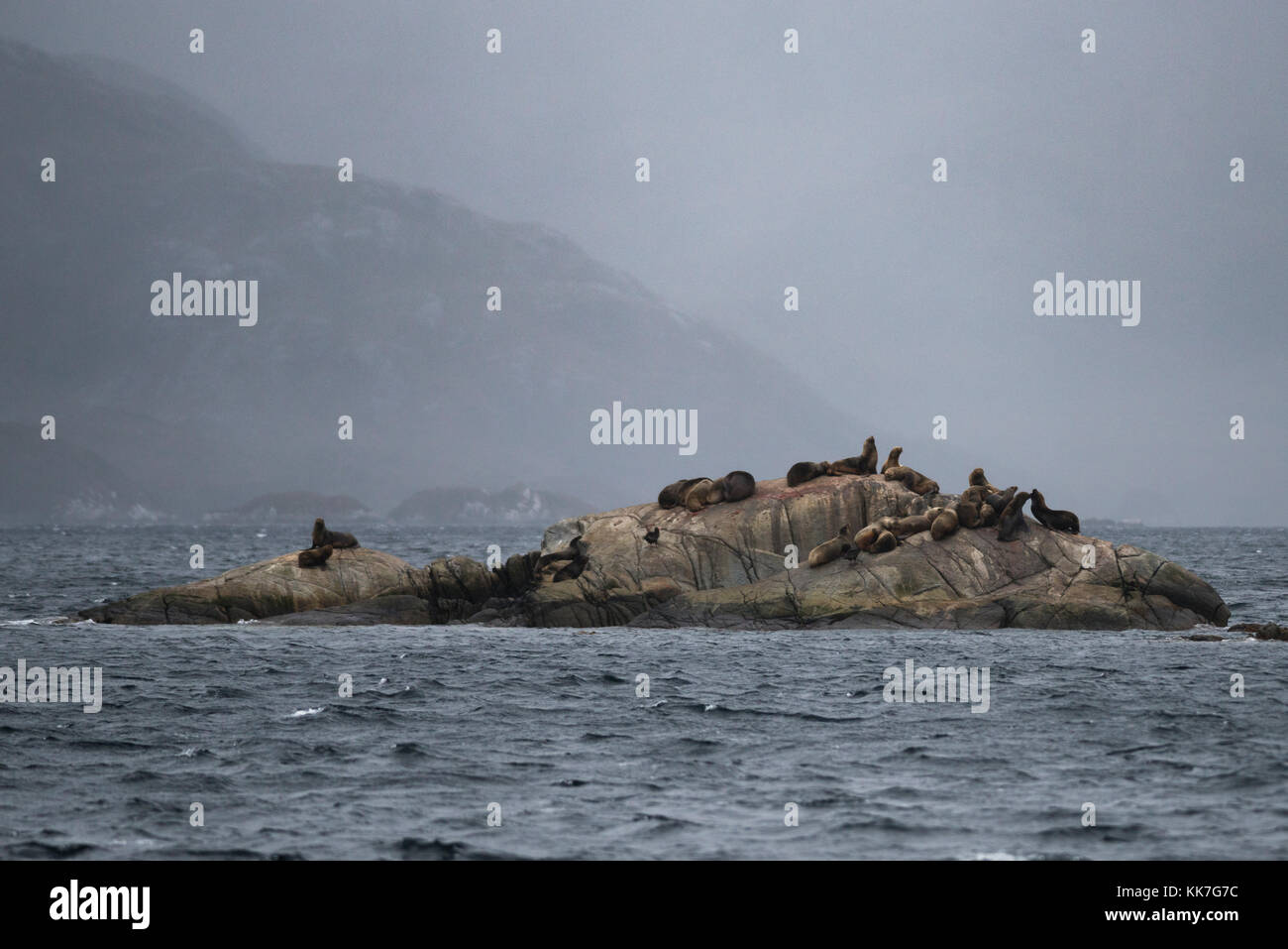 Small Sea Lion colony in the waters of the southern Chilean fjords - Stock Image