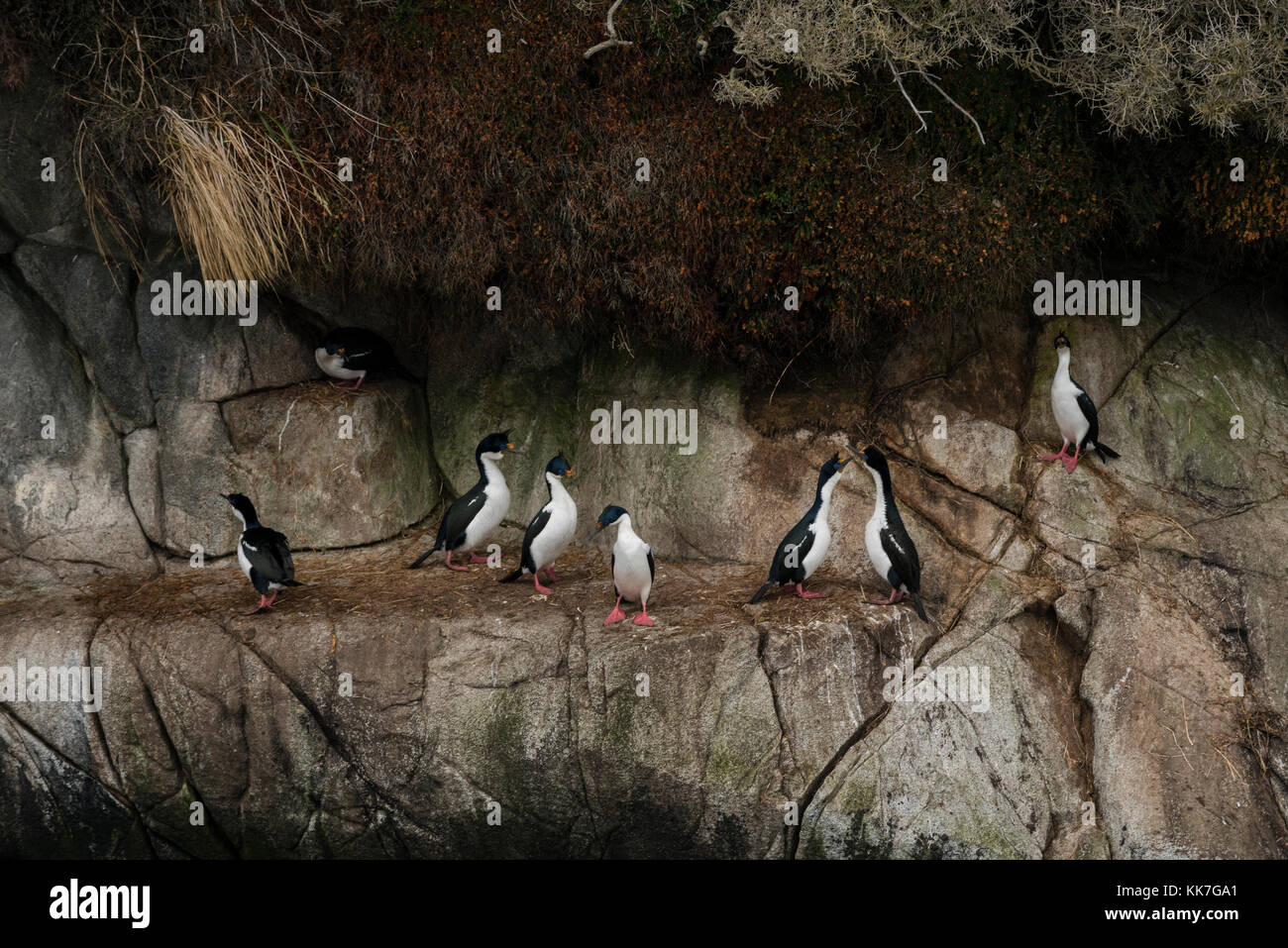 Rock Cormorant (Phalacrocorax magellanicus) nesting on a remote island in the southern Chilean fjords - Stock Image