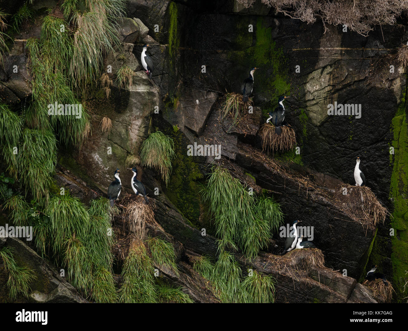 Imperial Cormorants (Leucocarbo atriceps) nesting on a remote island in the southern Chilean fjords - Stock Image
