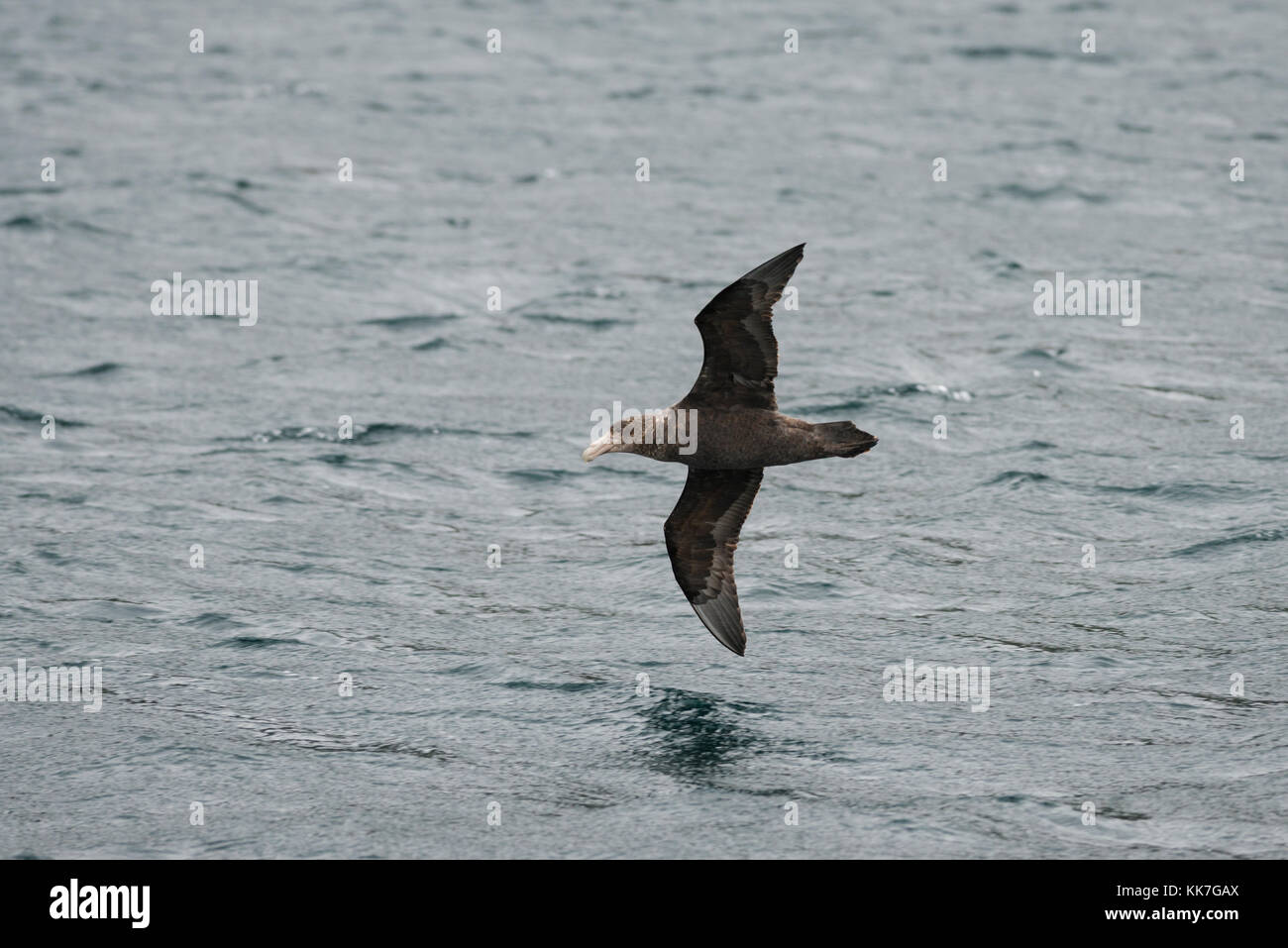 Southern Giant Petrel flying over the waters of the Straits of Magellan, Chile - Stock Image