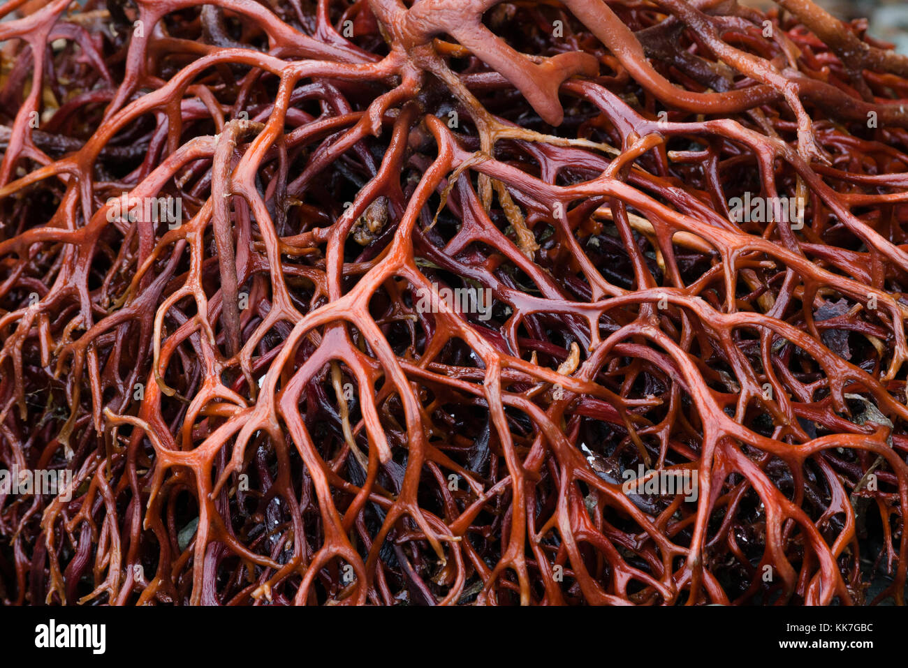 A red algae from the Straits of Magellan, South Chile - Stock Image