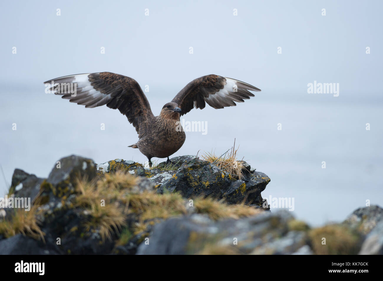 A Chilean Skua (Stercorarius chilensis) from south Chile - Stock Image