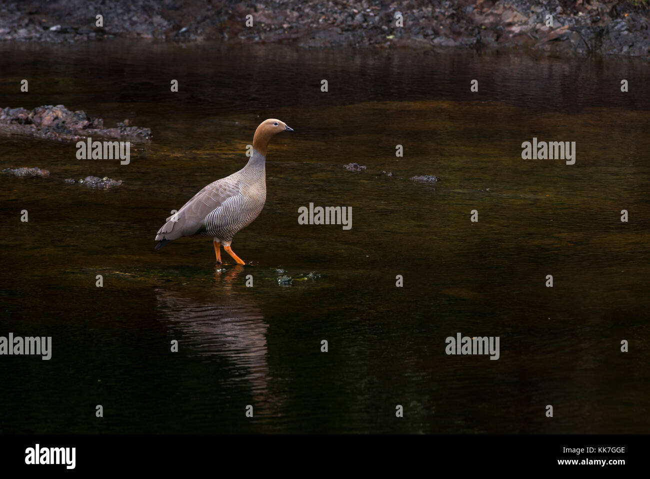 The highly endangered Ruddy-headed Goose (Chloephaga rubidiceps) from near Punta Arenas, Chile - Stock Image
