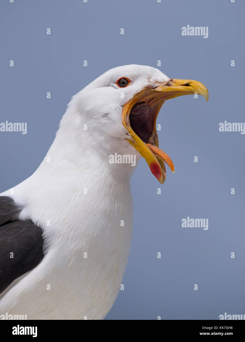 Kelp Gull (Larus dominicanus) from Punta Arenas, Chile - Stock Image