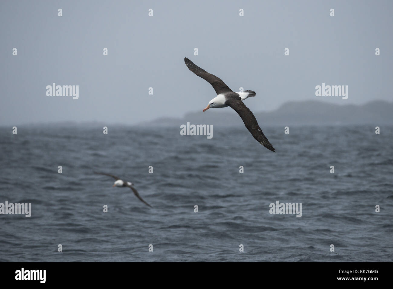 Black-browed Albatross in the southern Chilean fjords - Stock Image