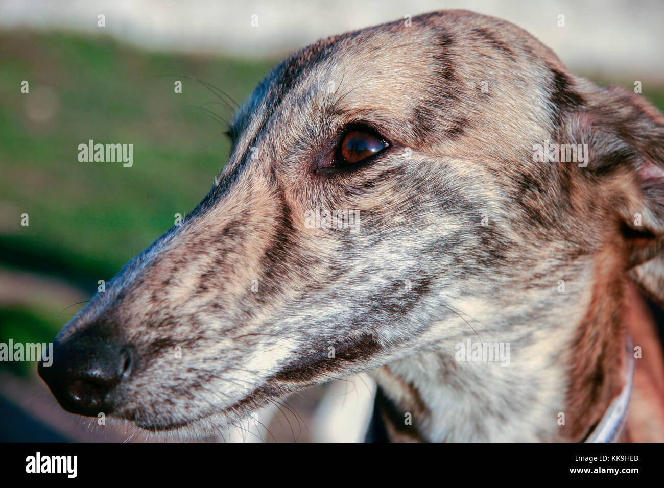 Beautiful young spanish greyhound also called in Spain Galgo. Portrait of striped dog - Stock Image