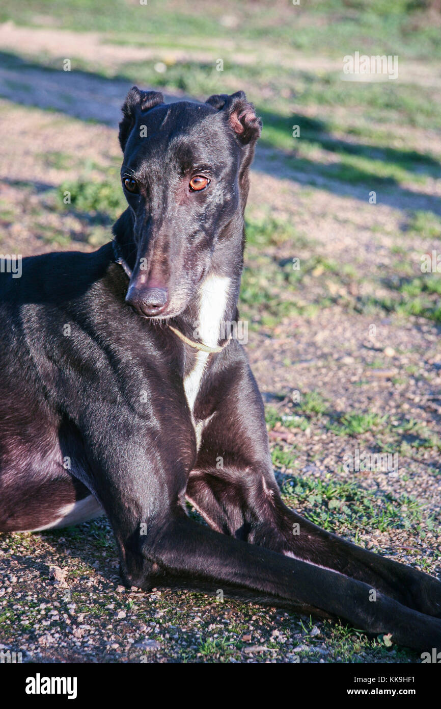 Beautiful young spanish greyhound also called in Spain Galgo. Black shiny dog lay down - Stock Image