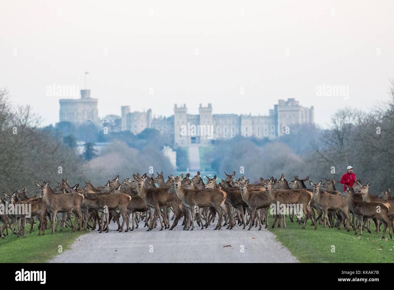 Windsor, UK. 30th Nov, 2017. Red deer cross the Long Walk in front of Windsor Castle as a runner approaches at dawn - Stock Image
