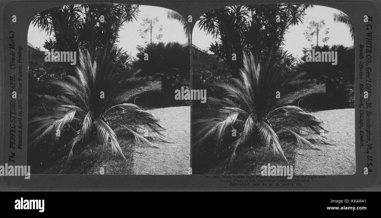West Indies Sago Palms, mother plant at the right and young plant at left, Castleton Gardens, Jamaica, 1904. From - Stock Image