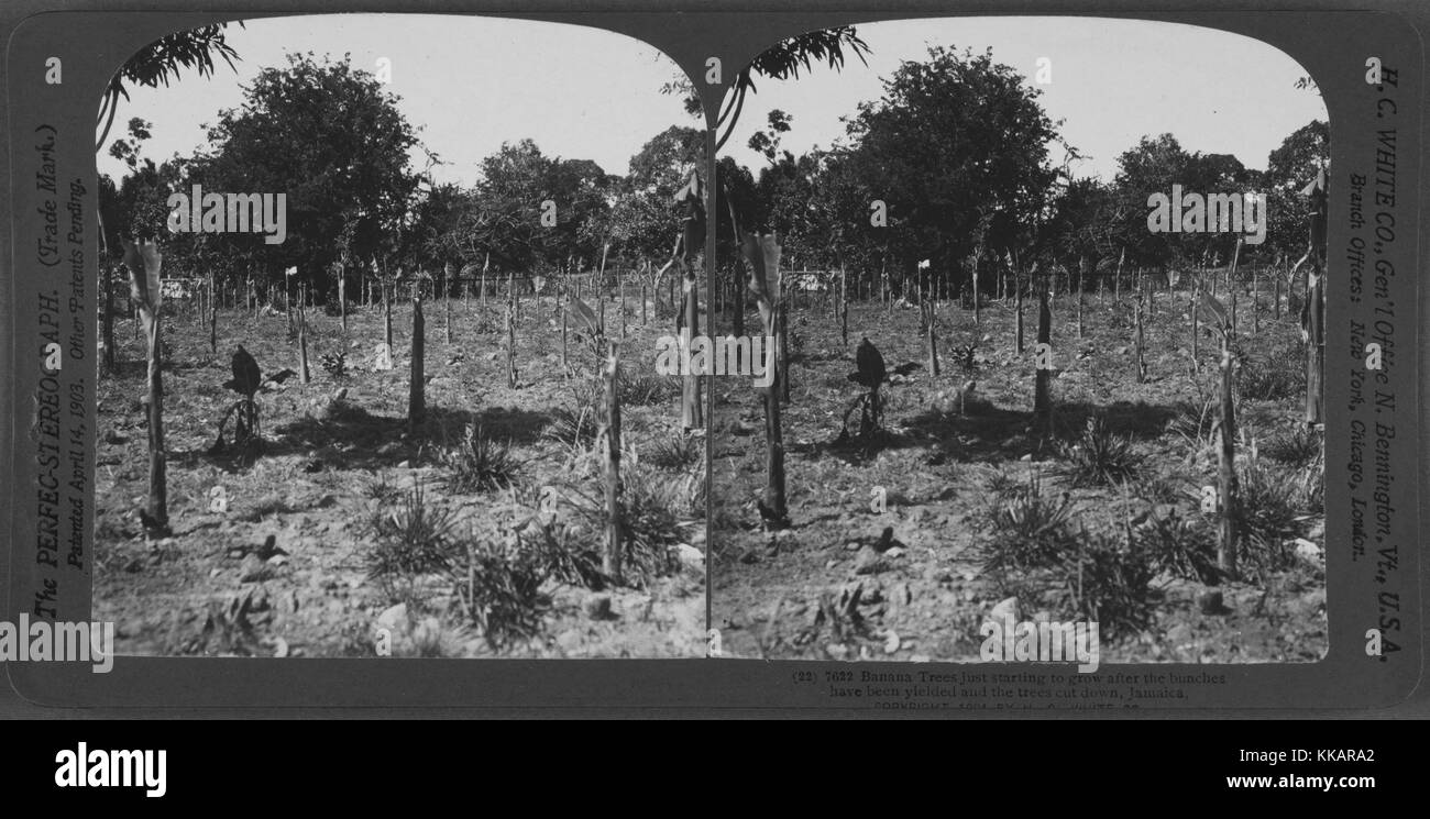 Banana trees just starting to grow after the bunches have been yielded and the trees cut down, Jamaica, 1904. From - Stock Image