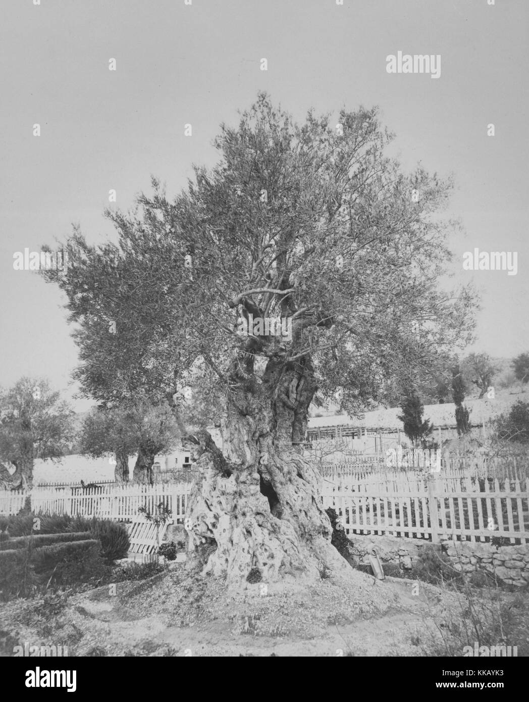 A photograph of an olive tree at Gethsemane, it is a garden that is situated near the base of Mount Olive, it is - Stock Image