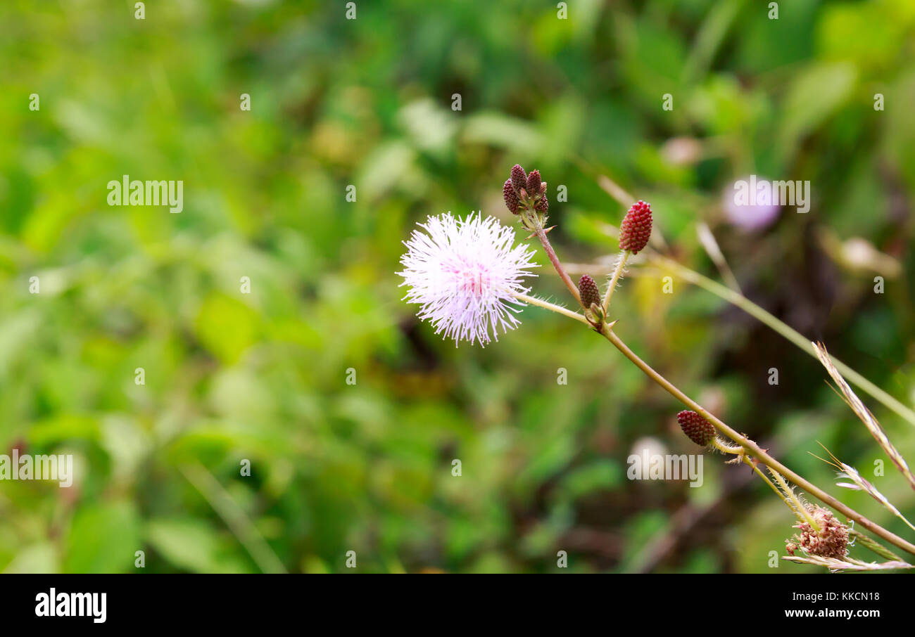 Mimosa Pudica, Also Called Sensitive Plant, Touch-Me-Not, or Shy Plant with Blurry Background. - Stock Image