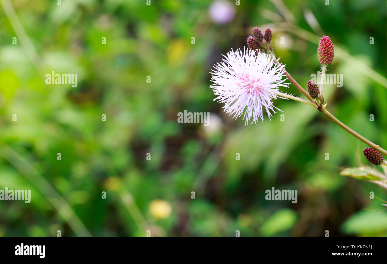 Sensitive Plant, Also Called Touch-Me-Not, Mimosa Pudica, or Shy Plant with Blurry Background. - Stock Image