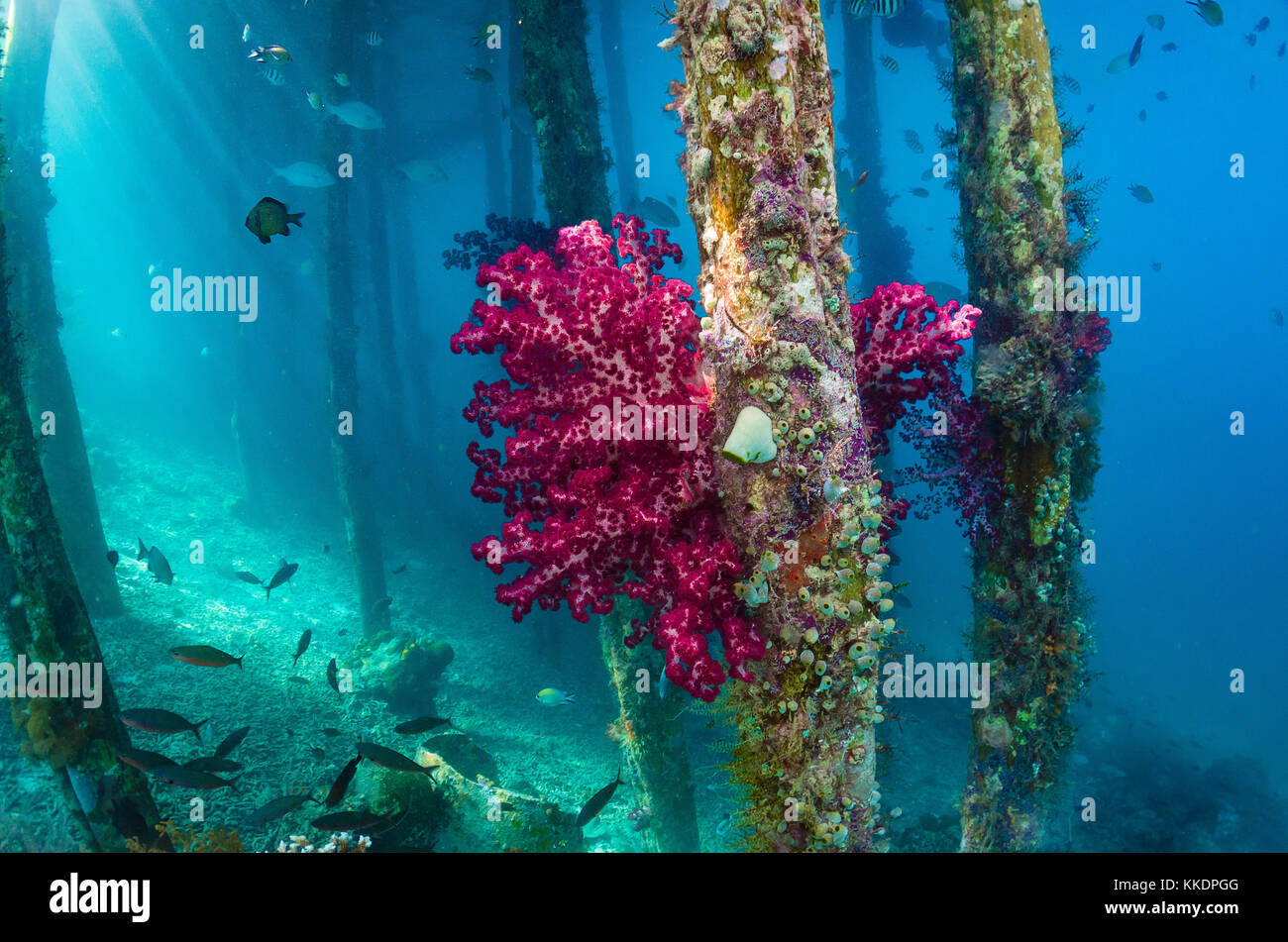 Red soft coral, Aborek jetty, Raja Ampat, West Papua, Indonesia - Stock Image