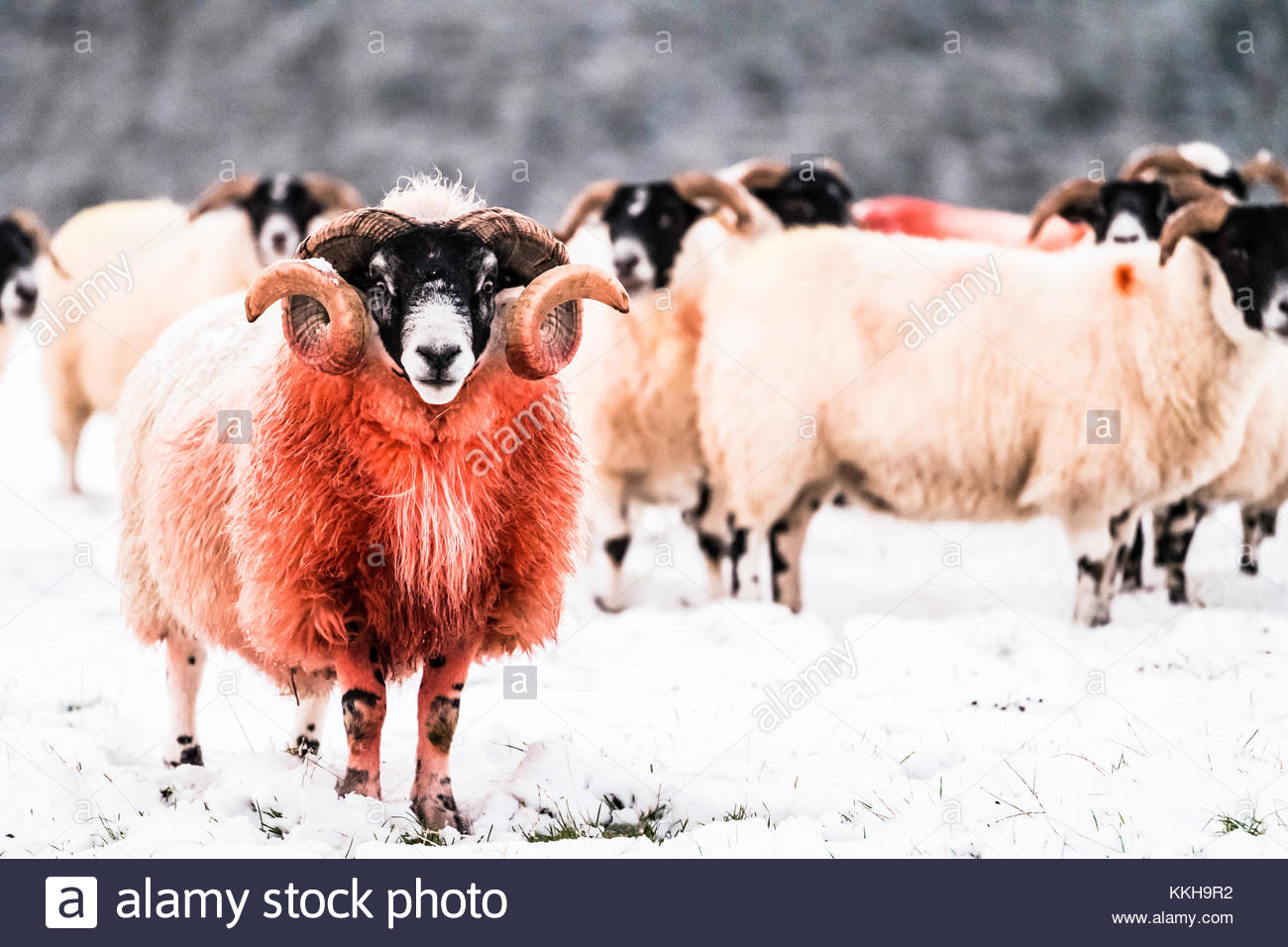 Hownam, Scottish Borders, UK. 1st Dec, 2017. Black Face sheep gather in a field next to a Christmas tree plantation - Stock Image