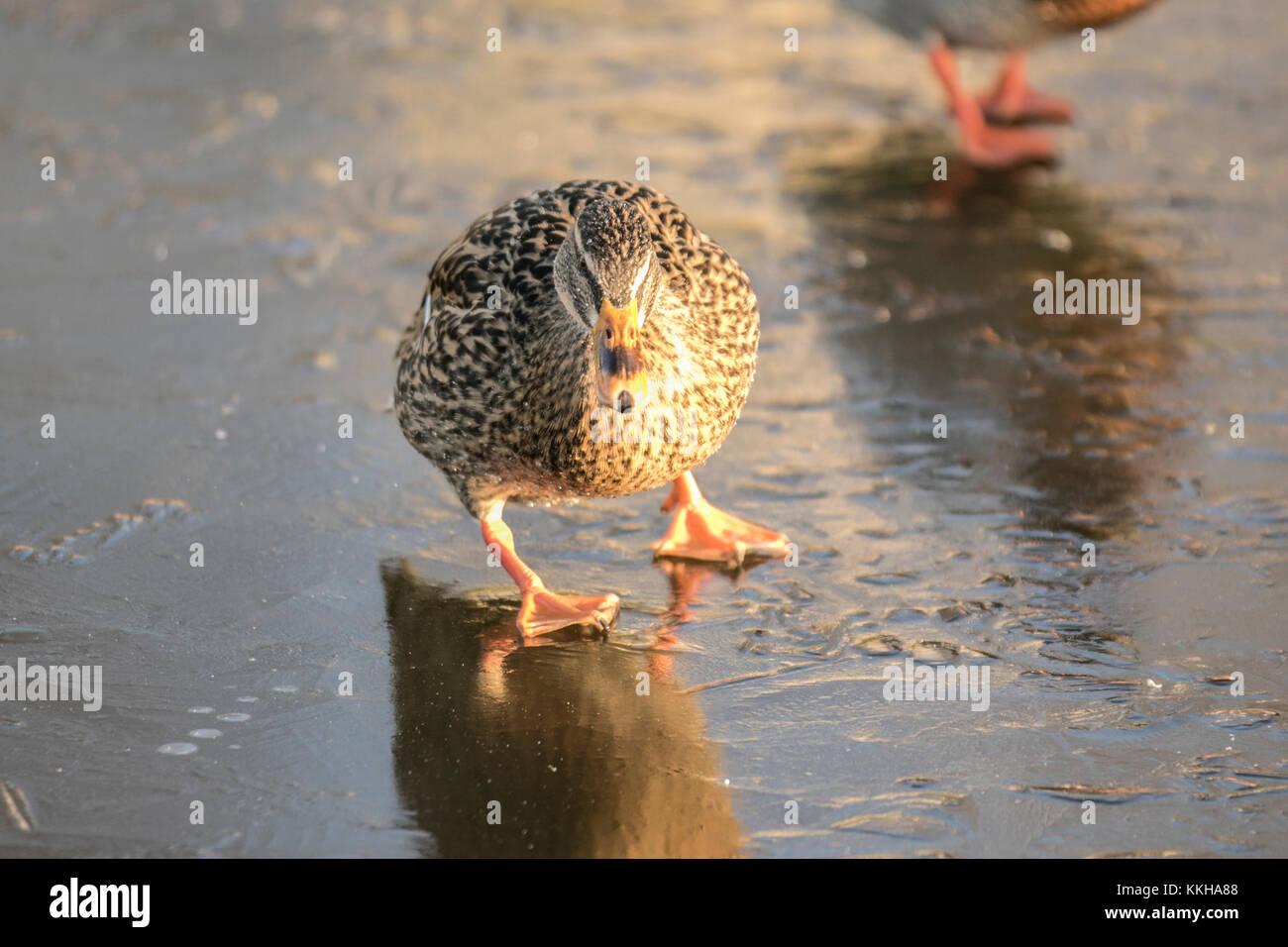 Burscough, Lancashire, UK. 1st December, 2017. UK Weather. Wild and captive ducks struggle for food on a frozen - Stock Image