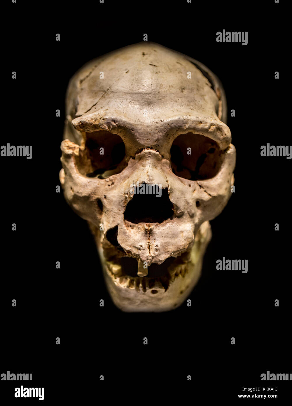 Miguelon, nickname for the most complete skull of an Homo heidelbergensis ever found. Found at Atapuerta Sima de - Stock Image