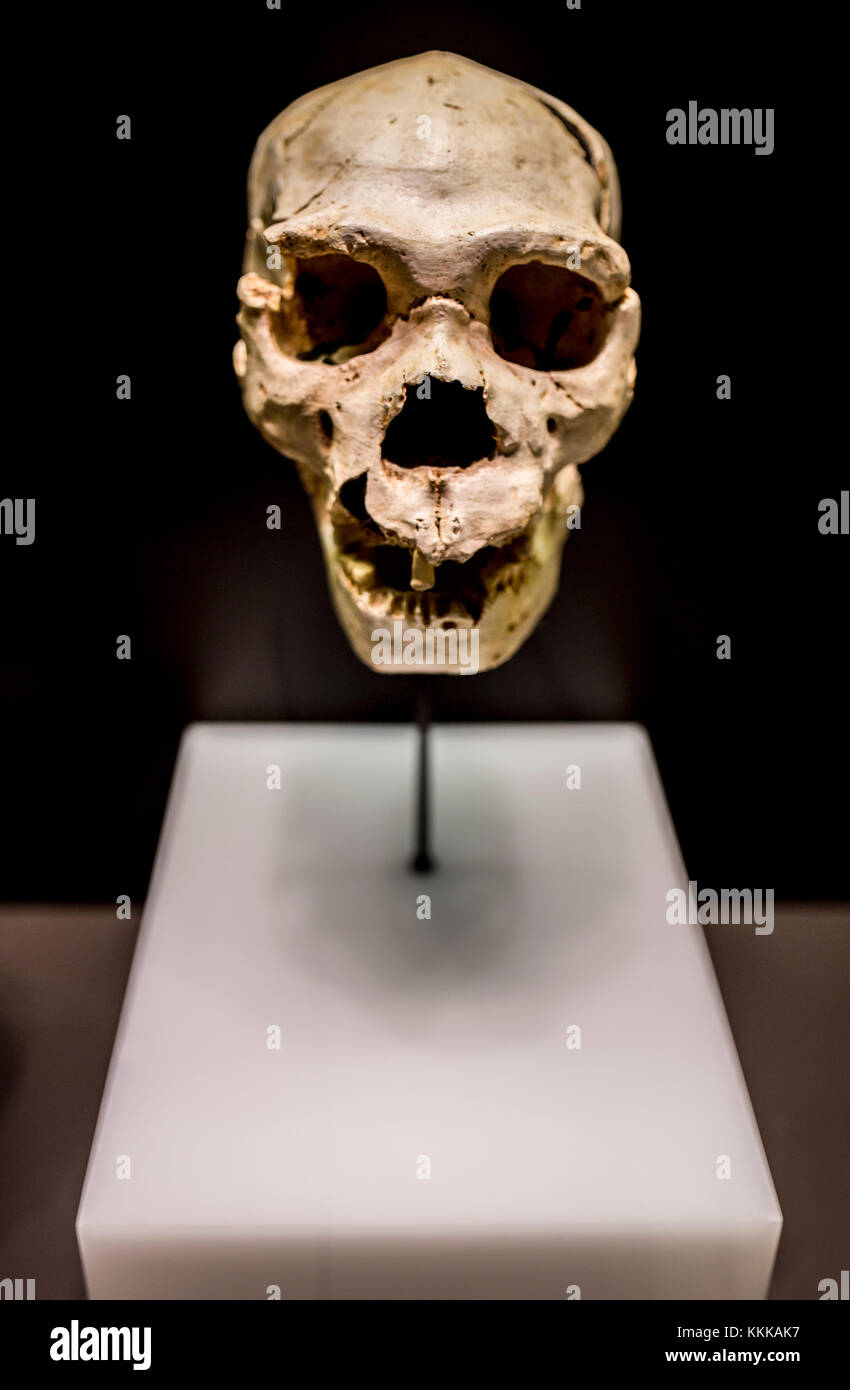 Madrid, Spain - November 11, 2017: Miguelon, nickname for the most complete skull of an Homo heidelbergensis ever - Stock Image