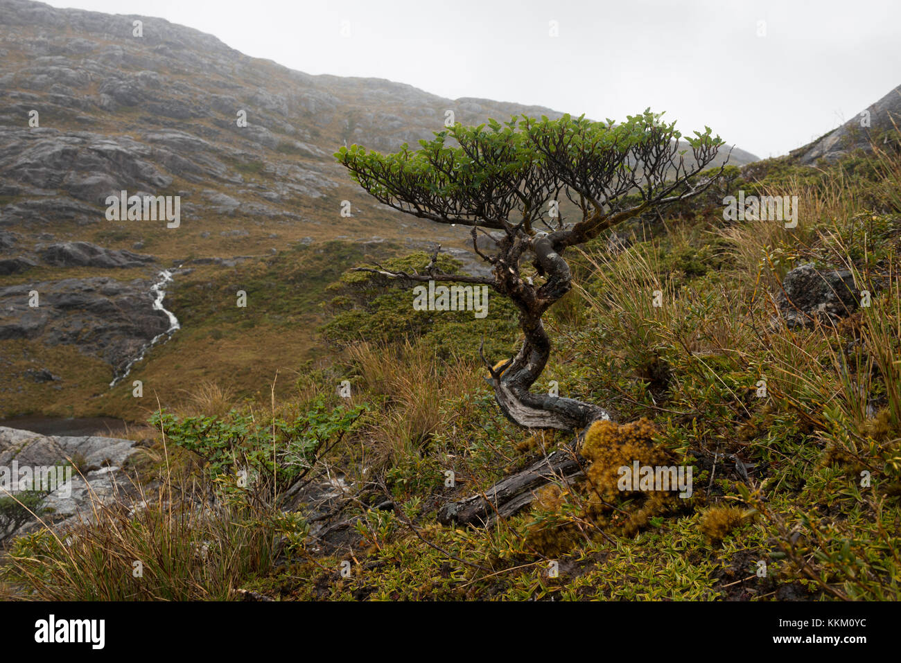 A wild bonsai tree growing on a remote island in the southern chilean fjords - Stock Image