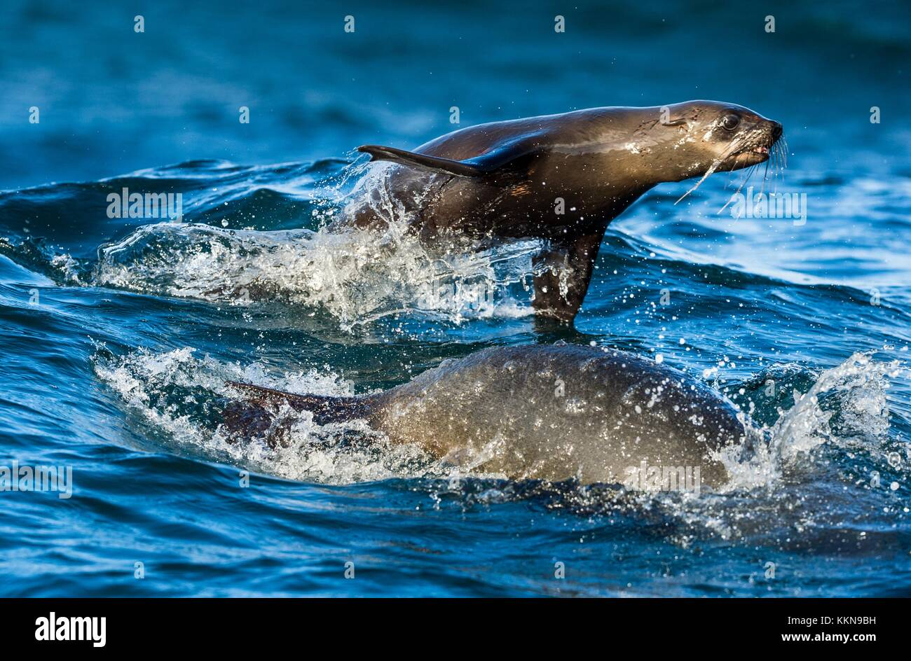Seals swim and jumping out of water . Jumping Cape fur seal (Arctocephalus pusillus pusillus). - Stock Image