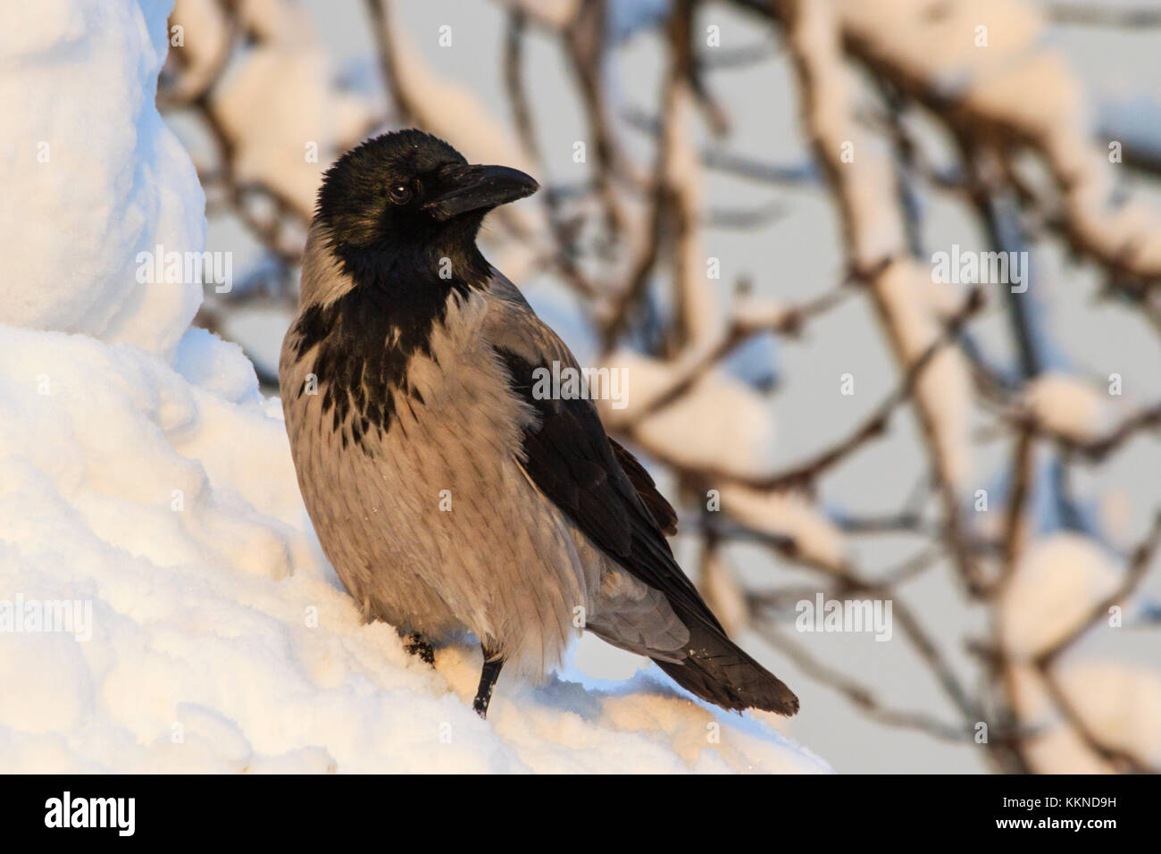 gray crows are in the midst of deep snow - Stock Image