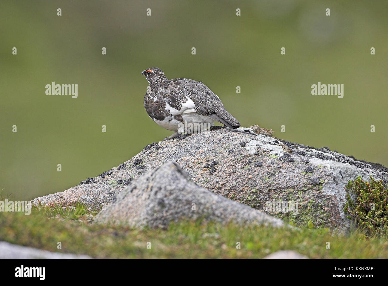 Rock ptarmigan summer