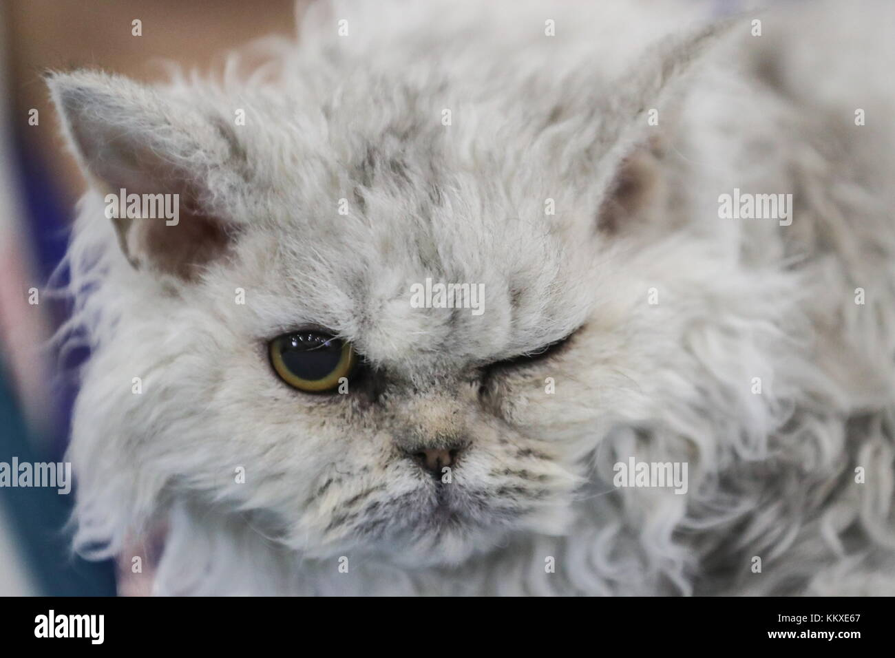 Moscow Region, Russia. 2nd Dec, 2017. A cat at the 2017 Grand Prix Royal Canin international cat show at the Crocus - Stock Image