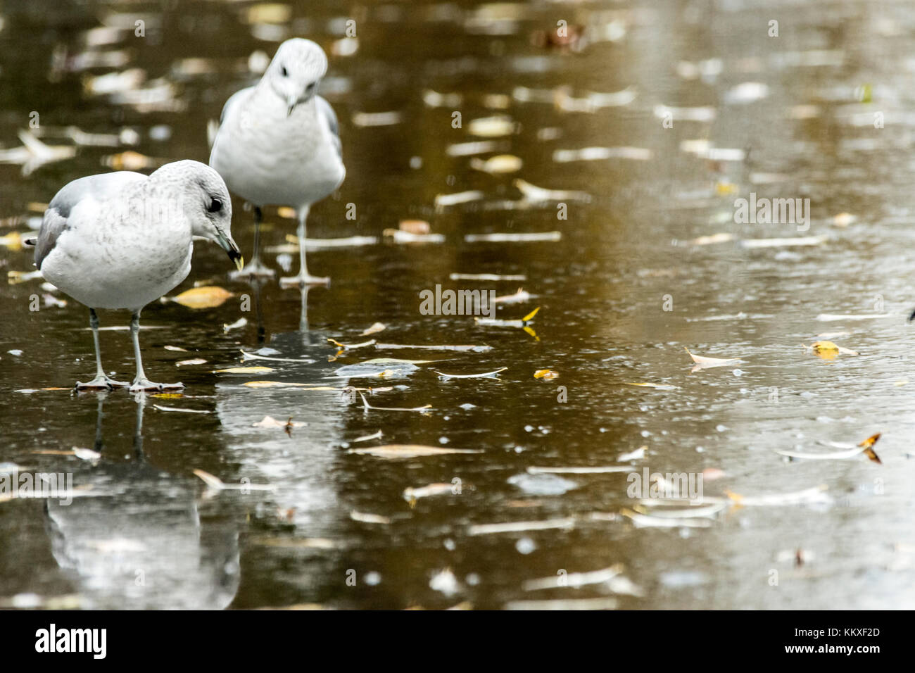 Melton Mowbray, UK. 2nd Dec, 2017. Cold and cloudy afternoon, frozen covered town center pond Black headed gulls, - Stock Image