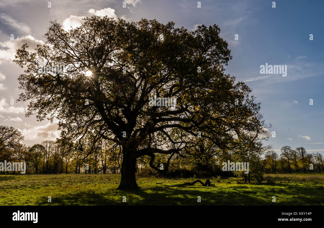 Rising sun behind a tree at Trent Park in north London, UK - Stock Image