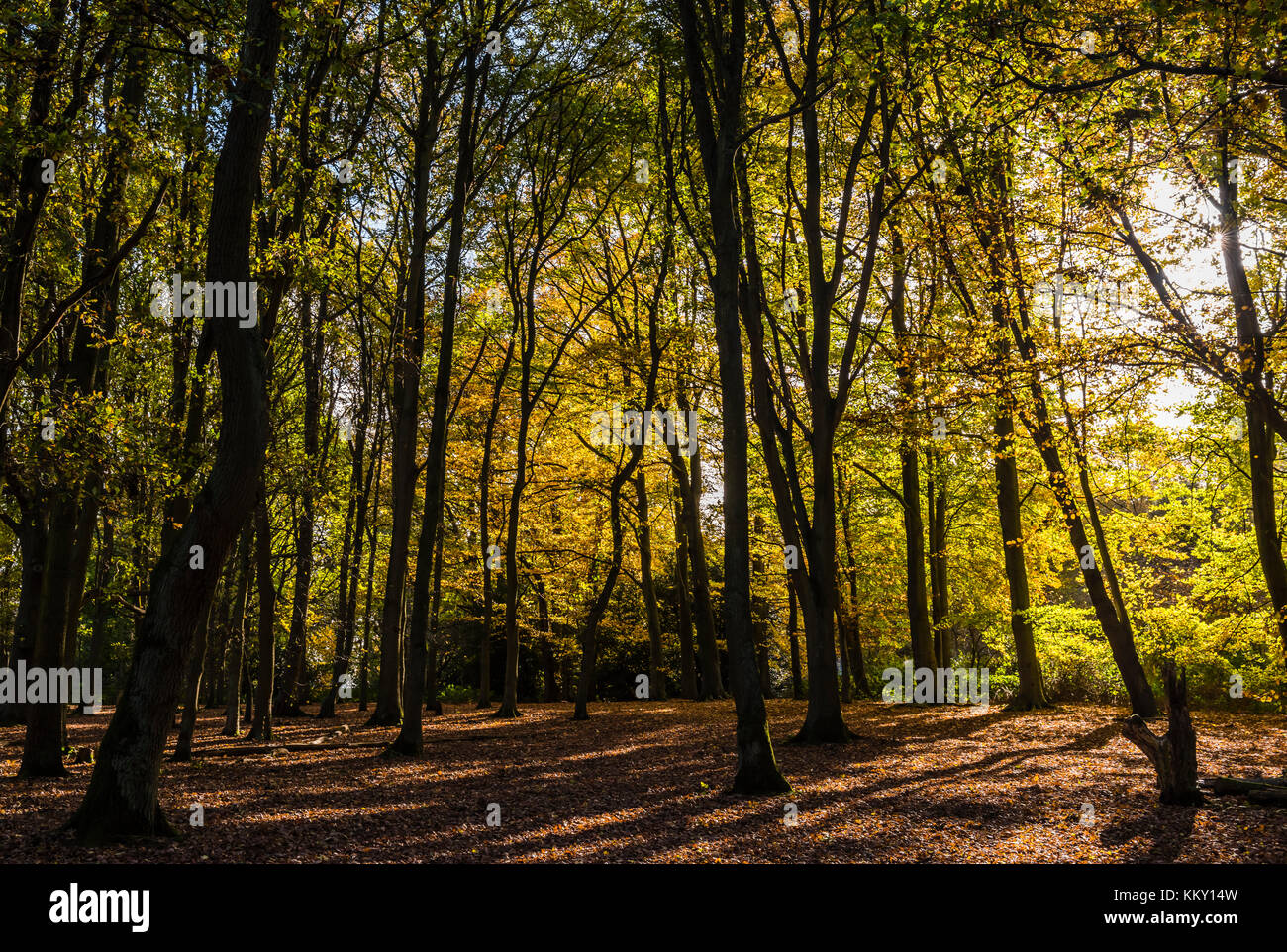 Sun bursting through autumn trees at Trent Park in north London, UK - Stock Image