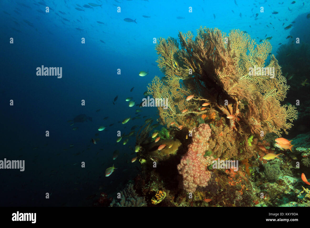 Colorful Coral Reef against Blue Water. Fam, Raja Ampat, Indonesia - Stock Image