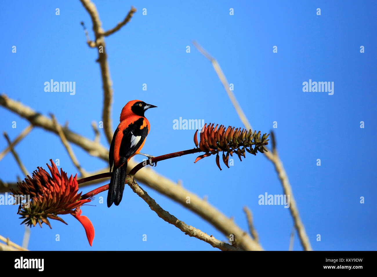 Orange-backed Troupial on a Branch. Pantanal, Brazil - Stock Image