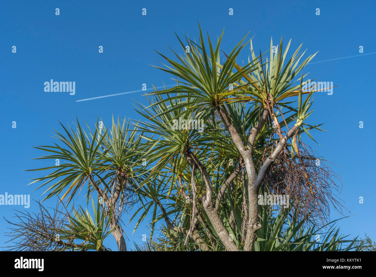 Cordyline australis palm set against bright blue sky in Cornwall, with vapour trails of an overhead passenger plane. - Stock Image