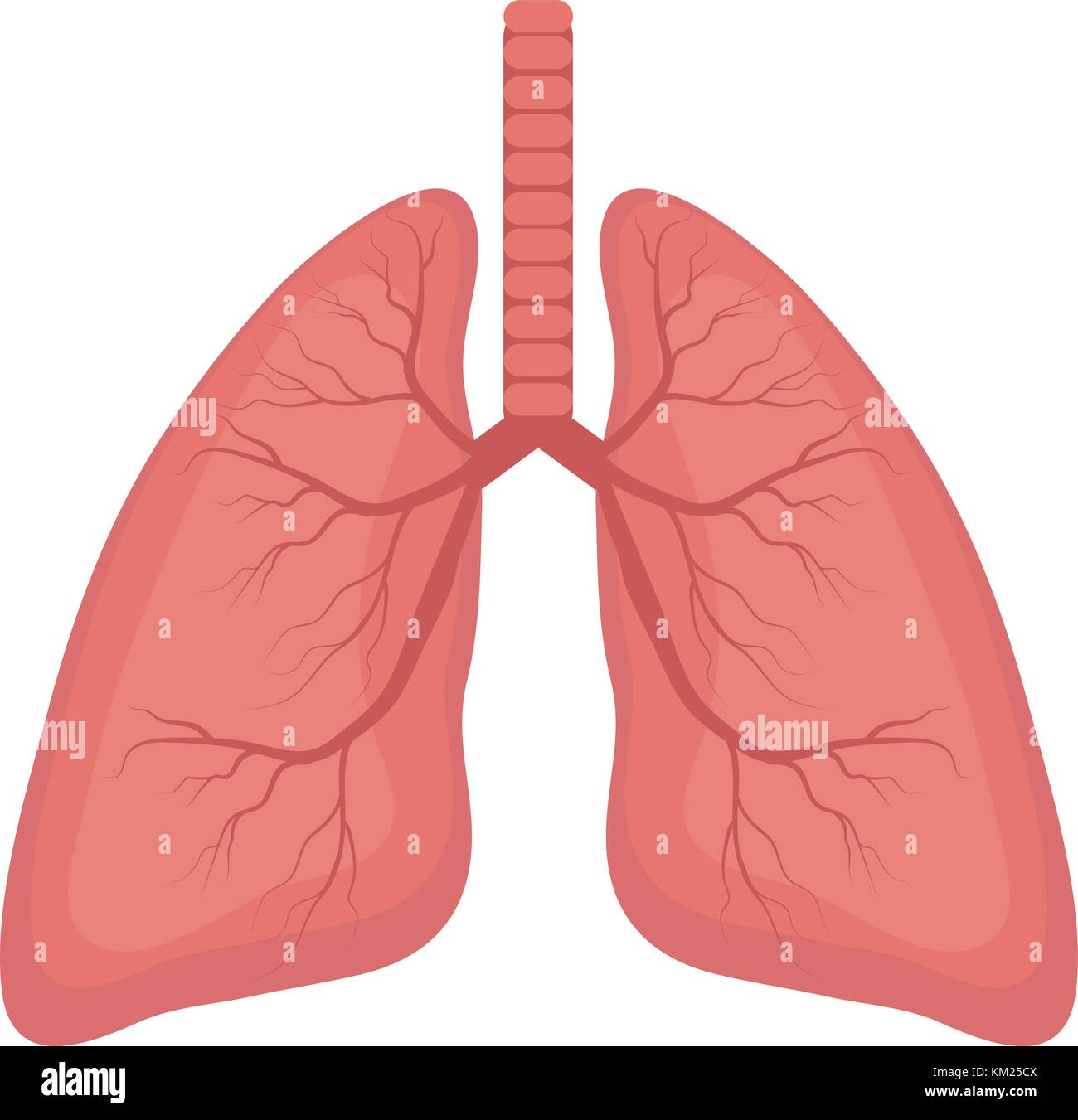 Healthy Lungs Stock Photos Amp Healthy Lungs Stock Images Alamy