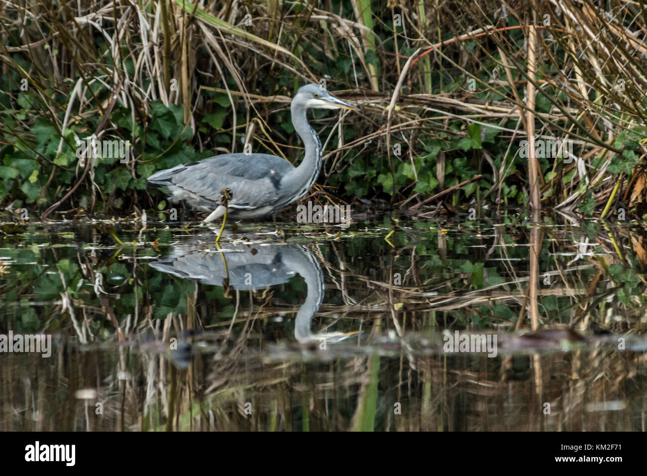 Malton Mowbray, UK. 3rd December, 2017. Mild dry day Grey Heron spends the last hours of last of the day fishing - Stock Image