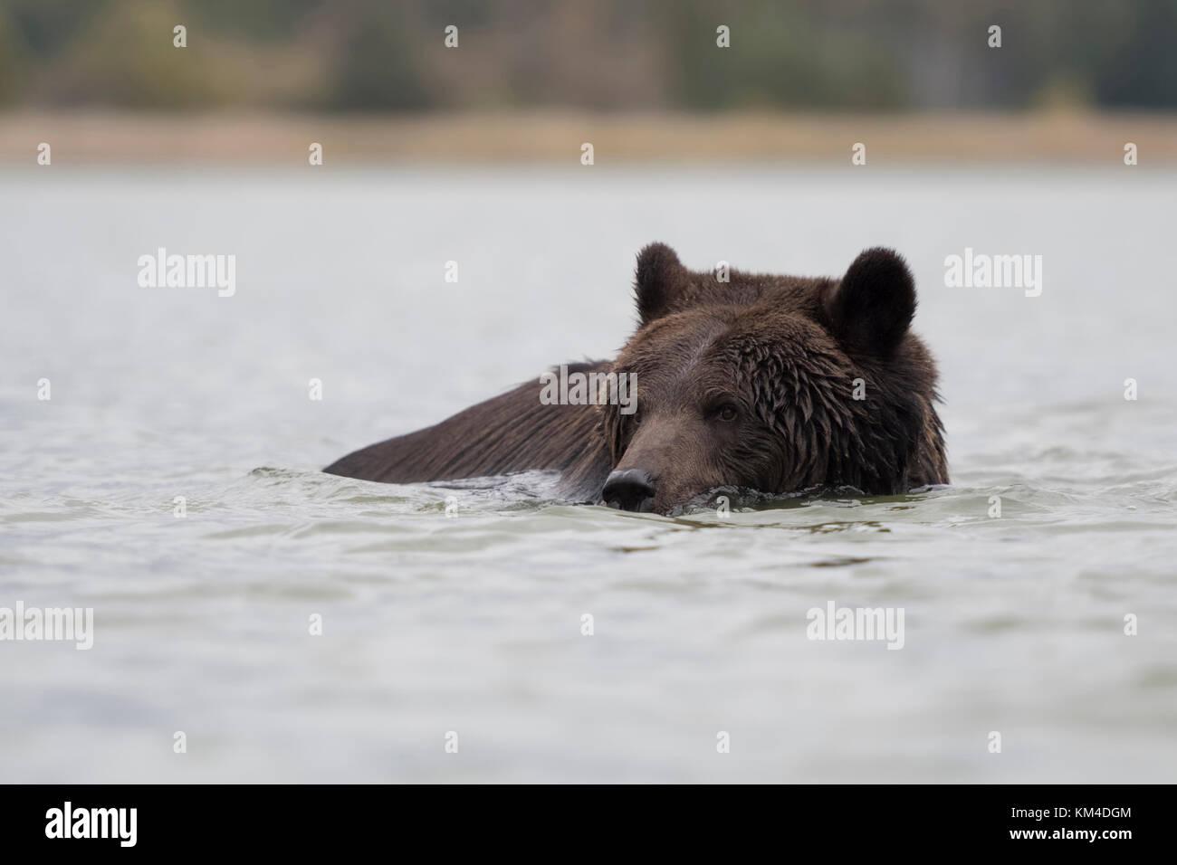 bear take a bath stock photos bear take a bath stock images alamy. Black Bedroom Furniture Sets. Home Design Ideas
