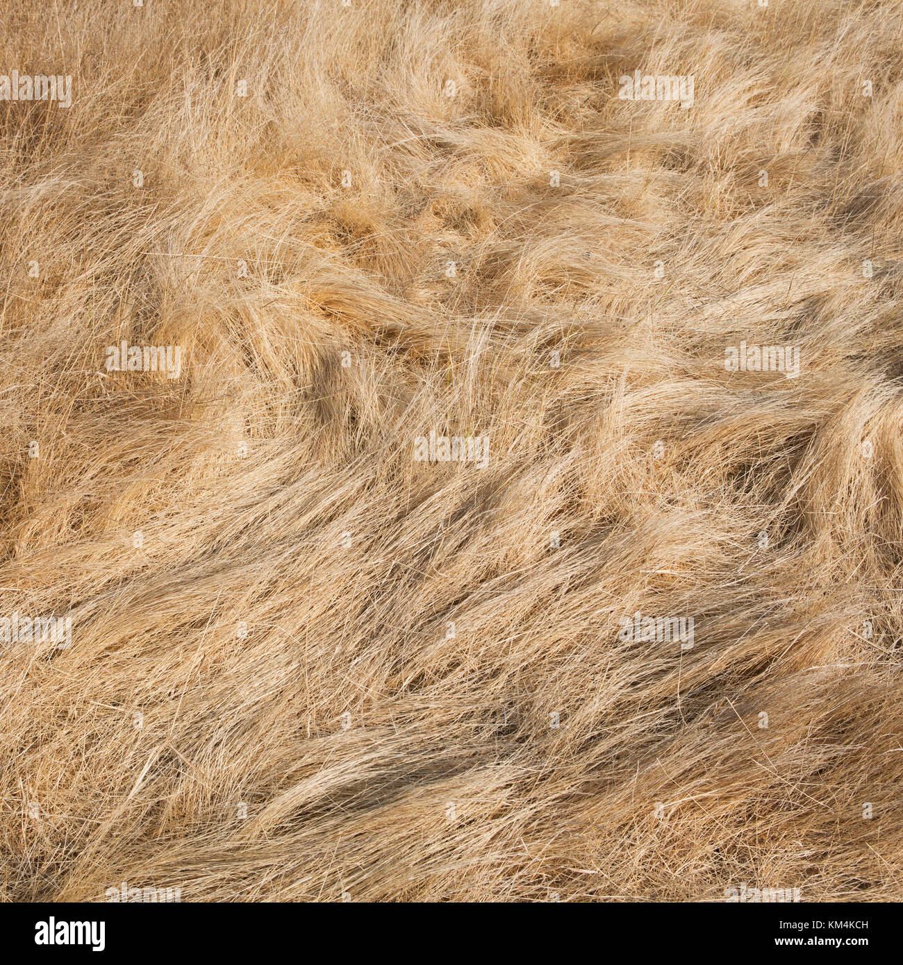 Detail of windswept field of dry summer grass, Discovery Park, King County, Seattle, Washington. - Stock Image