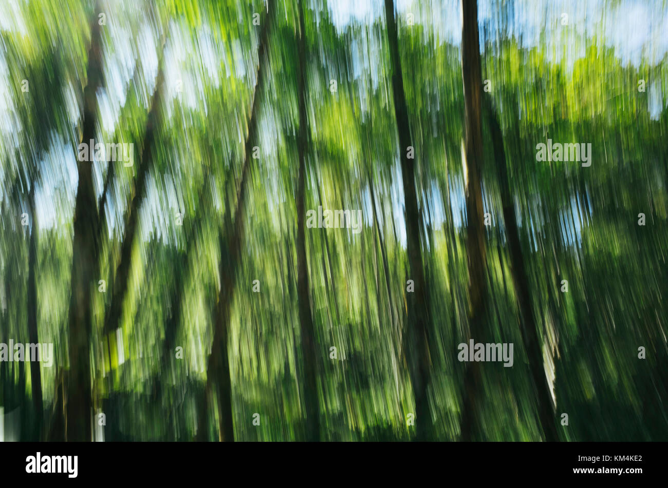 Blurred motion, tall alder trees with green leafy canopy shaking and swaying in the wind. - Stock Image