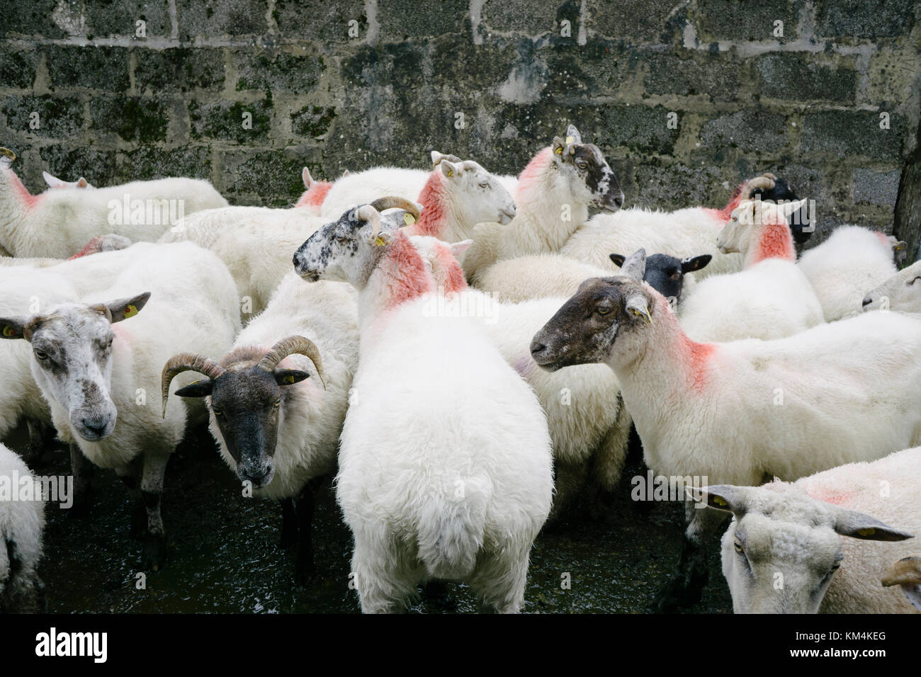 Small herd of sheep on a farm in Glenade, County Leitrim, Ireland. - Stock Image