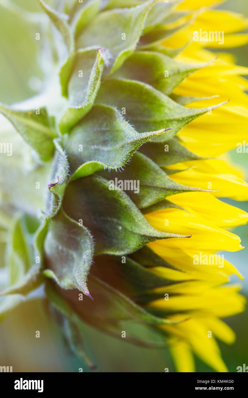 Close up of sunflower. - Stock Image