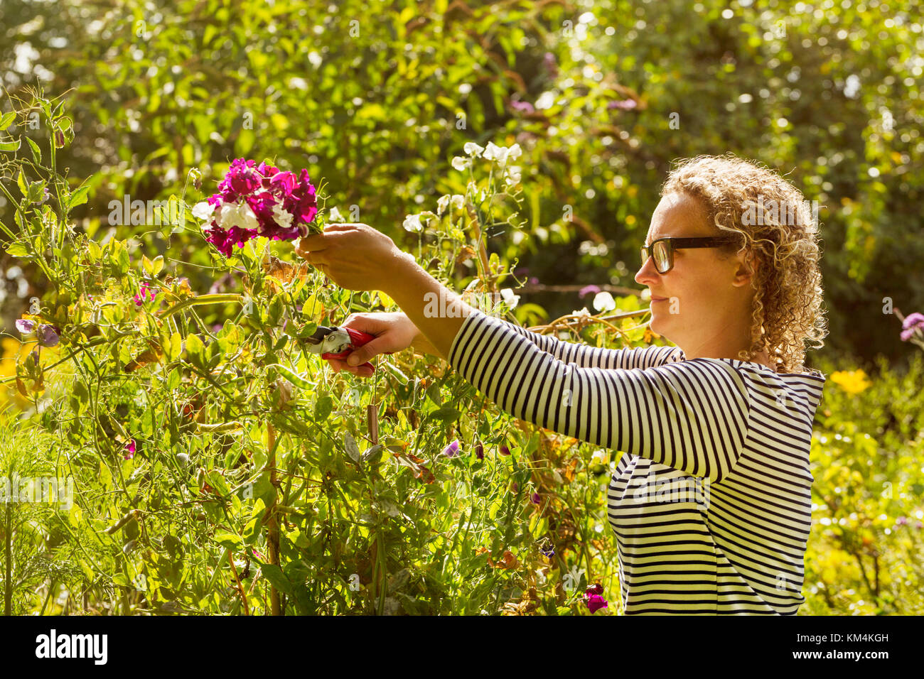 Side view of woman standing in a garden in summer, cutting pink sweetpeas. - Stock Image