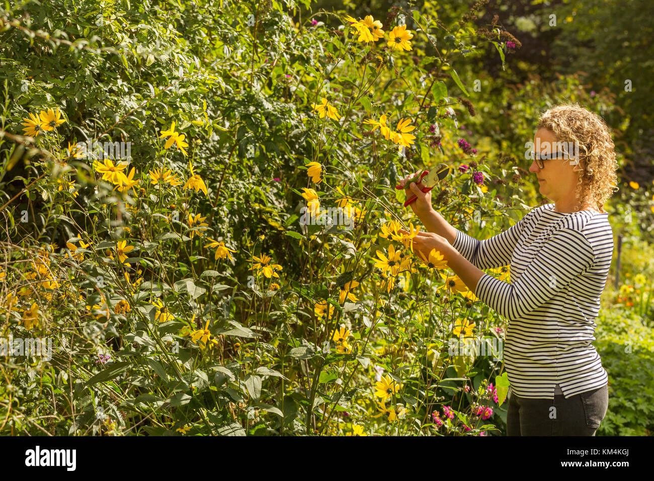 Side view of woman standing in a garden in summer, cutting yellow flowers. - Stock Image