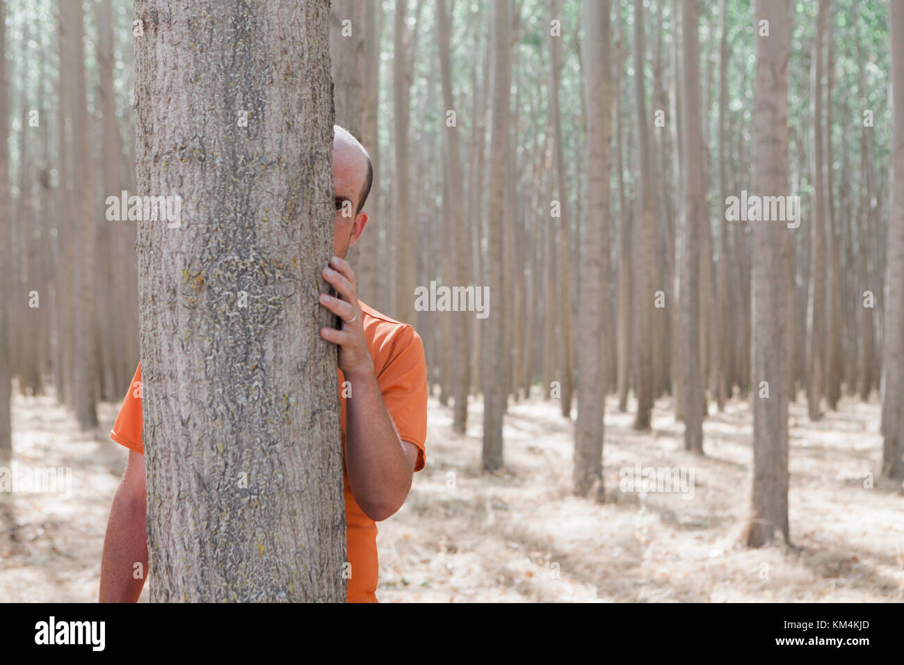 Man peering from behind a poplar tree trunk on a commercial tree farm. - Stock Image