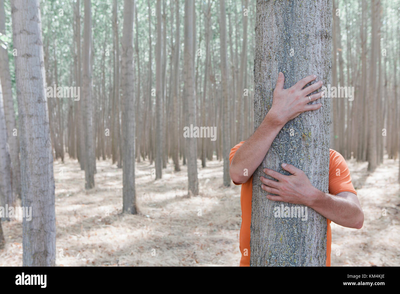 Man wrapping his arms around and hugging a poplar tree on a commercial tree farm. - Stock Image