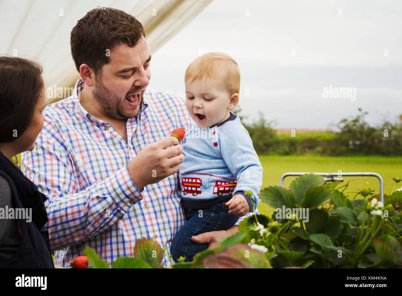 Fruit picking in a poly tunnel, PYO. A family and a baby boy picking and tasting strawberries from plants grown - Stock Image