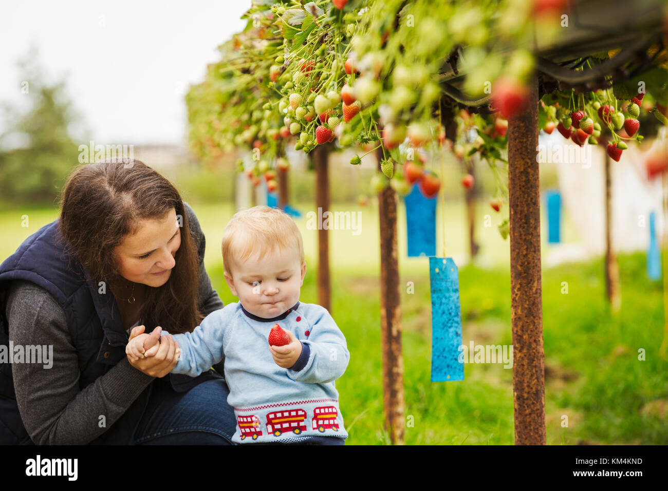 Fruit picking in a poly tunnel, PYO. A mother and baby boy picking strawberries from plants grown on raised platforms - Stock Image